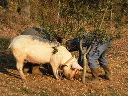 یافتن قارچ دنبلان توسط خوک